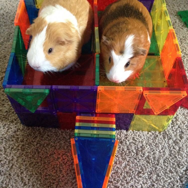 10 tricks get guinea pigs interacting family