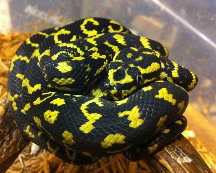 Nature Art Print featuring the photograph Jungle Carpet Python by Millard  H