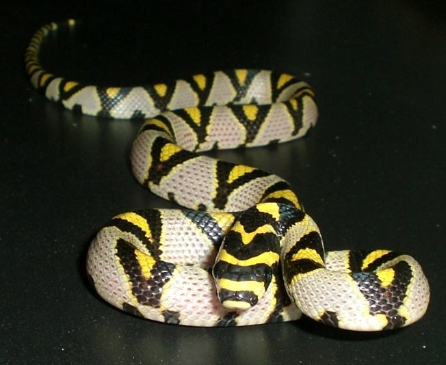 A jungle carpet python showing off its bright yellow markings