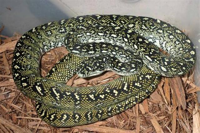 The East Queensland Carpet Python