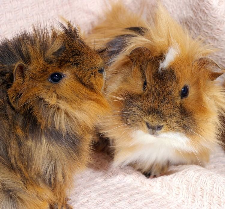 There are thirteen breeds and ten basic colors of guinea pigs recognized by  the American Cavy Breeders Association